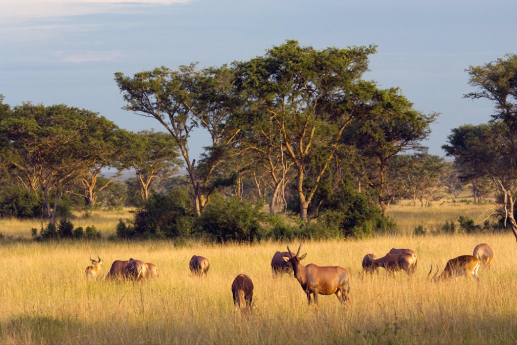 Antelopes grazing in Uganda